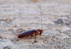 What Does A Cockroach Look Like 9 Types Of Roaches With