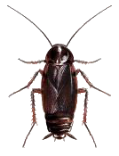 cockroach body structure