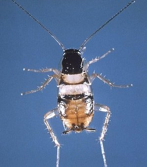 Brown-banded cockroach Scientific Name