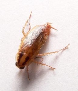 German cockroach Scientific Name