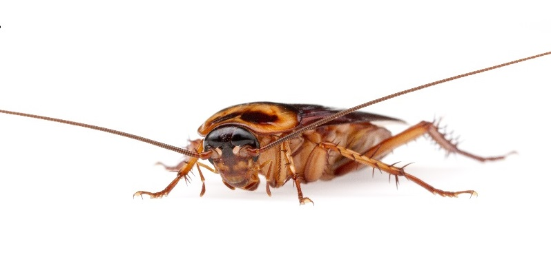 How long can cockroaches live without food