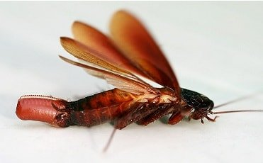 Smokybrown cockroach Scientific Name