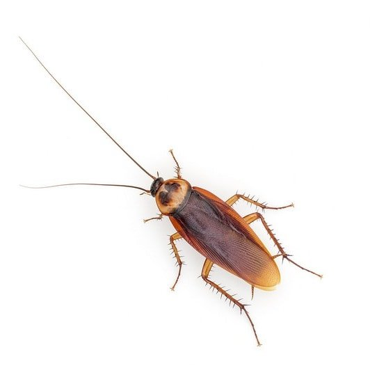 american roach picture