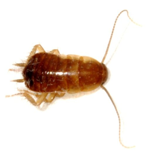 What Does A German Roach Look Like?