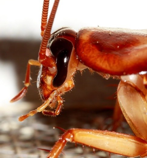 Does Cockroach Have Eyes?