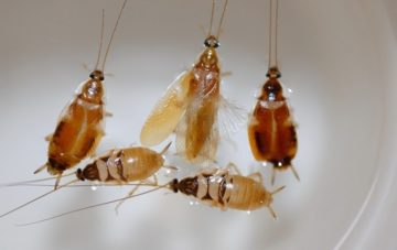 Brown-banded-cockroach-lifecycle