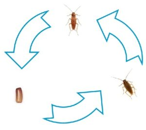 How Long Does a Cockroach Live