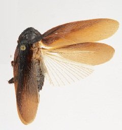 Scientific Name of Roach Species, Family, Class
