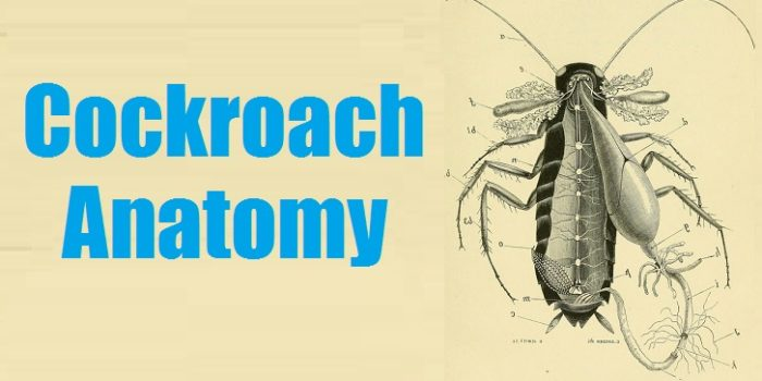 Anatomy of a Cockroach